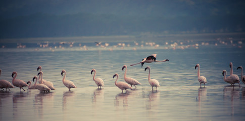 Flamingos flying along the shores of Lake Nakuru. Get together with your own #4 Wall mural