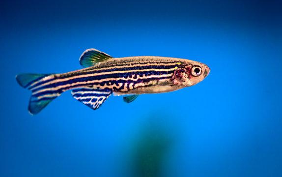 aquarium fish, zebrafish on a blue background