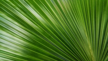 Wall Mural - Abstract image of Green Palm leaves in nature