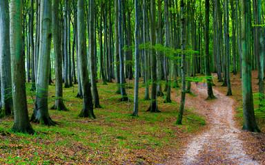 Buchenwald auf Insel Rügen im Herbst