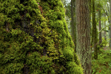 a picture of an pacific Northwest forest with a mossy old growth Big leaf maple tree