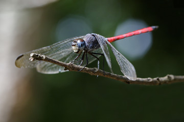Image of dragonfly perched(Lathrecista asiatica)on a tree branch. Insect, Animal
