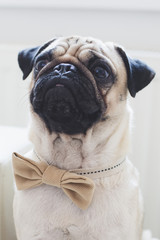 Portrait of a pug-dog wearing a bow tie