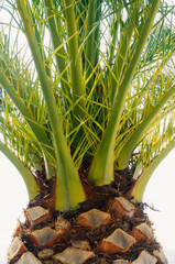 Close up of palm tree with green leaves