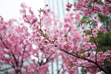 The Cherry blossom blooming season in Japan