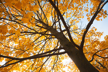 Maple tree with yellow leaves in autumn