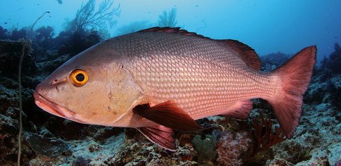 Red snapper underwater