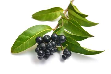 ligustrum vulgare plant