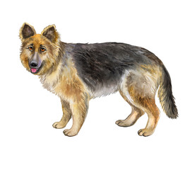 German Shepherd Dog Isolated on a White Background. Watercolor. Illustration. Template. Picture. Clipart