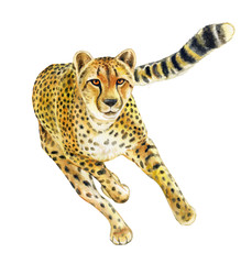 Cheetah running. Wild cat islated on white background. Watercolor. Illustration. Template. Handmade