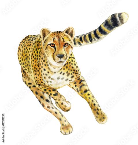 Cheetah running. Wild cat islated on white background. Watercolor ...