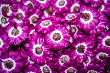 Violet flower cineraria blooming in the garden in Iceland, summer season.