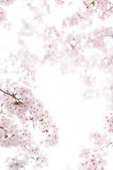 満開の桜(クローズアップ)