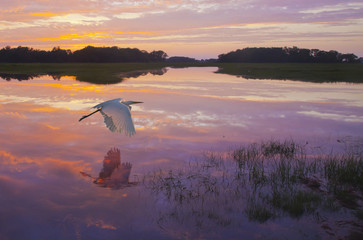 Dawn's Light - A great egret skims the water surface in early morning sunrise light with reflection.