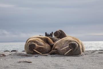 Bulls on the Beach - Three bull walruses rest on the beach, Svalbard, Norway.
