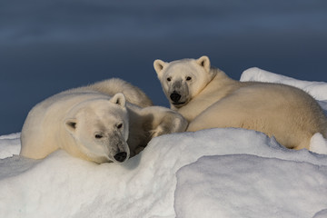 Just Waking Up - A polar bear mother and her yearling cub are just waking up to evening light from a long nap and seem a bit groggy.