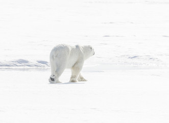 Pads and Paws - An adult polar bear saunters into the snow drift. Its black paw pads stand out against its white fur.