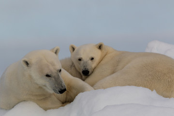 Polar Puppies - A mother polar bear and its yearling cub enjoy the comfort of a snow-berg and look like harmless puppies.