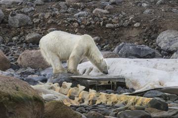Polar Bear on Carcass  - An adult polar bear sniffs the last remains of a sperm whale carcass on a beach.