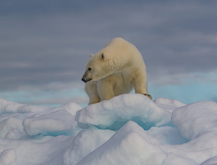 Warily Watching - A polar bear sow warily watches the approach of potential intruders.