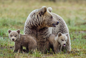 She-Bear and Cubs of Brown bear  on the swamp in the summer forest. Natural green Background