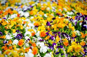Canvas Prints Pansies background of summer flowers, meadow of vivid pansies (violas), selective focus, shallow depth of field