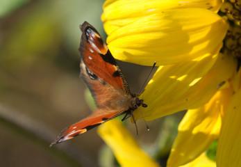 Tagpfauenauge auf einer Sonnenblume