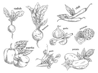 Sketches of organic vegetables. Farm, vegetarian