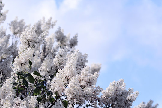 White lilac bush blossoming in the spring