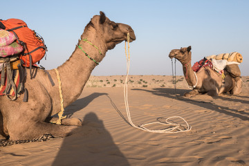 camels sitting on sand in the desert