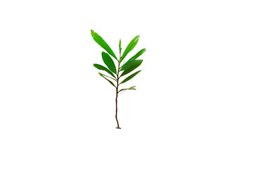 the green tree on white background isolated