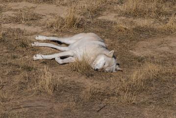 White Wolf Sleeping in Grass