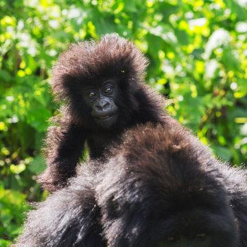 Baby Mountain Gorilla. Rwanda