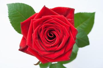 Rose mit Blätter von oben und Tiefenschärfe