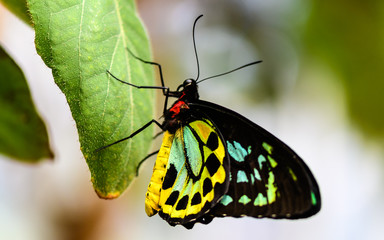 Cairns Birdwing Butterfly  - Ornithoptera priamus