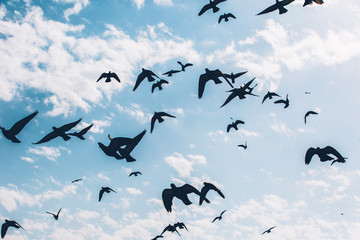 Silhouettes of a flock of pigeons flying against blue sky background