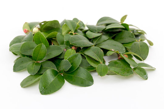 teaberry leaves on rustic background