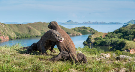The Fight of Komodo dragons for domination. It is the biggest living lizard in the world. Island Rinca. Indonesia.