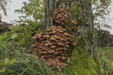 Honey fungus on tree in wind grass
