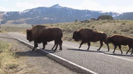 Wall Mural - Bison herd crossing road in a line in Lamar Valley.