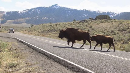 Wall Mural - Bison slowly crossing road while cars wait in Yellowstone.