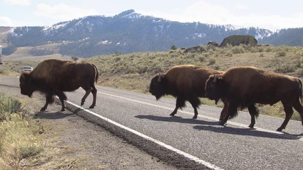 Wall Mural - Bison herd slowly crossing the road in Yellowstone