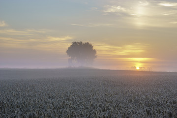 ely oak tree growing in a field of grain during the magnificent misty sunrise,hunting tower