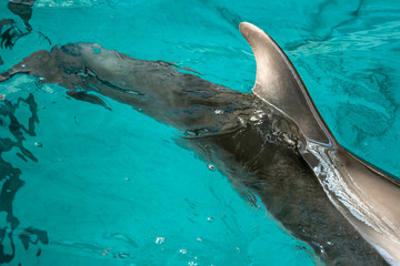 Dolphins in captivity Horizontally view from above. Dolphis swim in turquoise water, showing back and dorsal fin