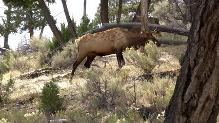 Wall Mural - Bull Elk with trophy antlers walking up hill in forest