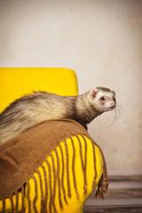 Fototapete - Frettchen auf dem Sessel