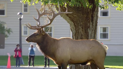 Wall Mural - Bull Elk standing in road as cars pass by and people watch it walk away.