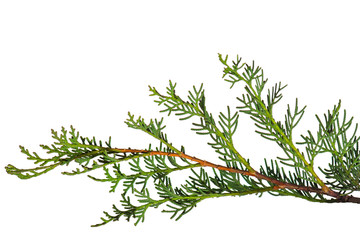 Cypress branch isolated on white