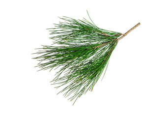 Branch of pine tree isolated on white