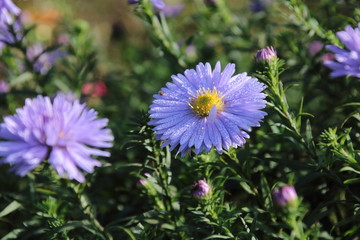 Beautiful flower blue aster.